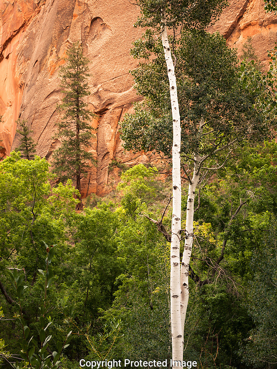 Aspen grove, Betatikin Ruin trail, Navajo Nat Mon, AZ