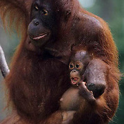 Orangutan, (Pongo pygmaeus) Mother and baby on hanging vine  eating bananas in rain forest. Northern Borneo. Malaysia . Controlled Conditons.