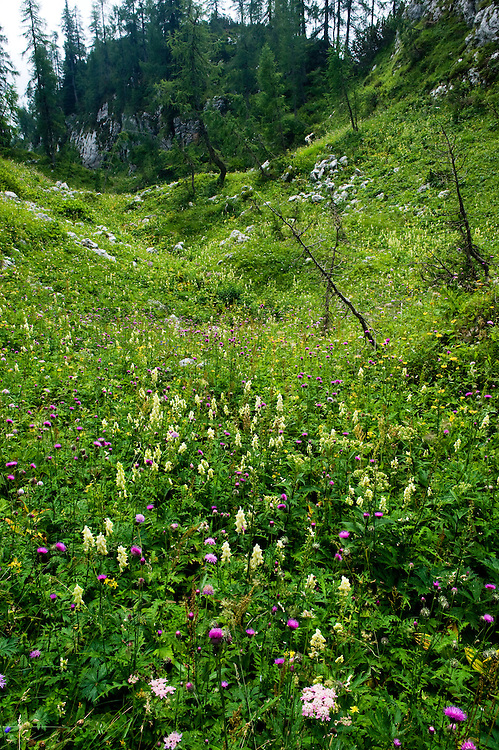 Alpine flower-meadow<br /> Triglav National Park, Slovenia<br /> August 2009