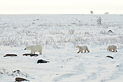 Polar bear sow and two cubs Ursus maritimus on frozen tundra<br />