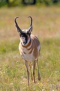 Buck Pronghorn in fall habitat.