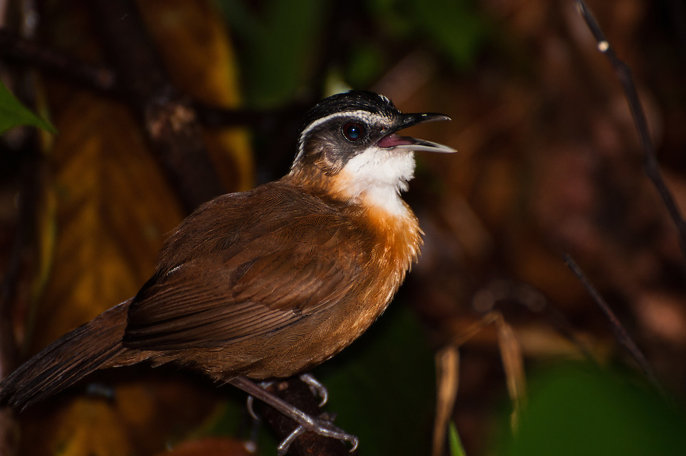 A Black-capped Babbler (Pellorneum capistratum) calling in lowland rainforest in the Sepilok Forest Reserve, Sabah, Malaysian Borneo