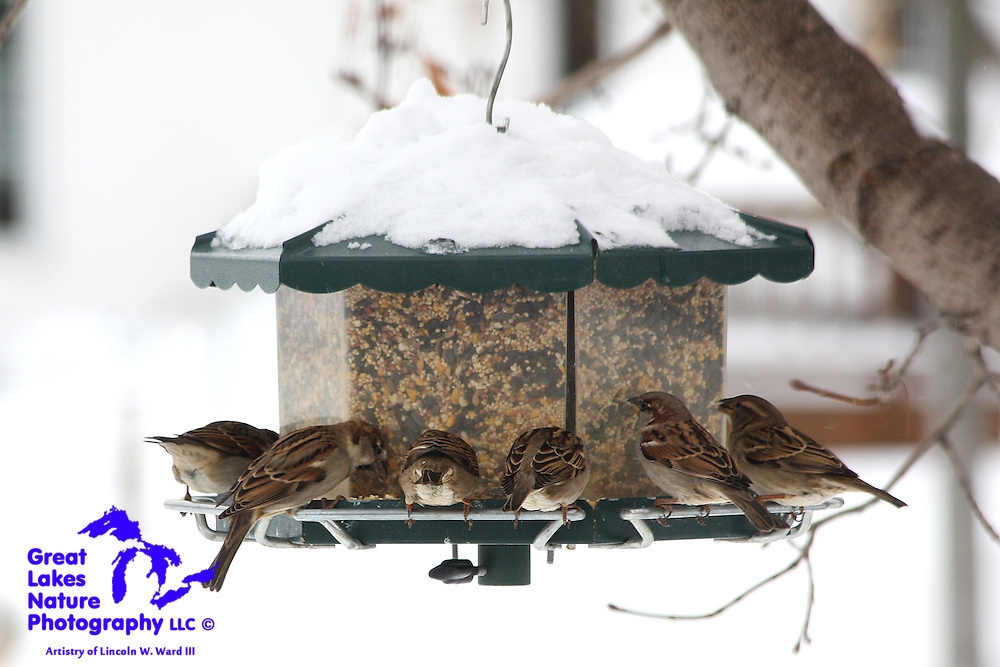 After a heavy winter snow, the local backyard bird feeder becomes a very popular hangout for the House Sparrows.