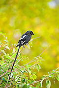 The magpie shrike (Urolestes melanoleucus), also known as the African long-tailed shrike, sitting on a branch, South Africa.<br /> <br /> Its natural habitats are dry savannah, moist savannah, and subtropical or tropical dry shrubland.