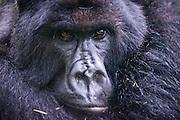 mountain gorilla (Gorilla beringei beringei),  Virunga National Park, Rwanda, Africa