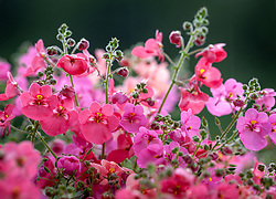 Diascia 'Diamonte Mixture'