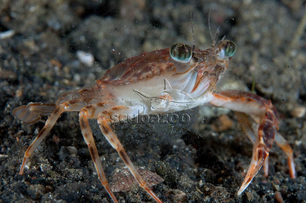 Swimming Crab, Thalamita sp., carrying eggs, Lembeh Strait, Sulawesi, Indonesia