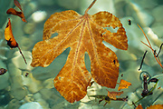 Leaf floating on calm water photographed in Poros, Greek Island of Cephalonia, Ionian Sea, Greece