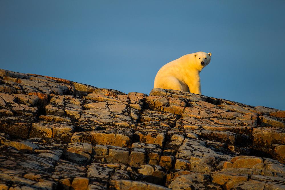 Canada, Nunavut Territory, Repulse Bay, Adult Male Polar Bear (Ursus maritimus) sitting in summer sunshine on rocky outcrop atop Harbour Islands along Hudson Bay