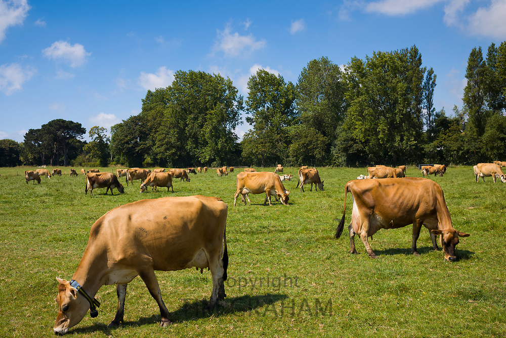Traditional light brown colour dairy herd of Jersey cattle grazing in meadow, Jersey, Channel Isles