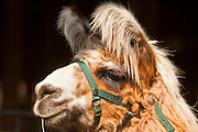 "01 SEPTEMBER 2011 - ST. PAUL, MN:  A llama at the Minnesota State Fair. The Minnesota State Fair is one of the largest state fairs in the United States. It's called ""the Great Minnesota Get Together"" and includes numerous agricultural exhibits, a vast midway with rides and games, horse shows and rodeos. Nearly two million people a year visit the fair, which is located in St. Paul.  PHOTO BY JACK KURTZ"