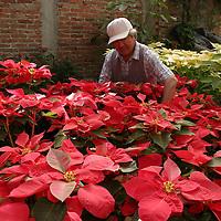 Tenancingo, M&eacute;x.- Sixto Estrada cultiva en un invernadero rustico flores de noche buena las cuales oferta durante la epoca decembrina para adornar las fiestas de navidad. Agencia MVT / Mario Vazquez de la Torre. (DIGITAL)<br /> <br /> NO ARCHIVAR - NO ARCHIVE
