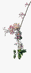 Cassia Bakeriana Pink Shower Wishing Tree#14vert
