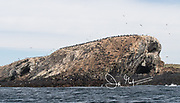 Imperial cormorants nest in large colonies alongside South American fur seals on Isla de los Estados, Argentina.