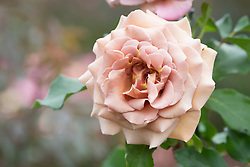 Rosa 'Koko Loko'