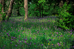 Stock photo of a forest field of native purple wildflowers