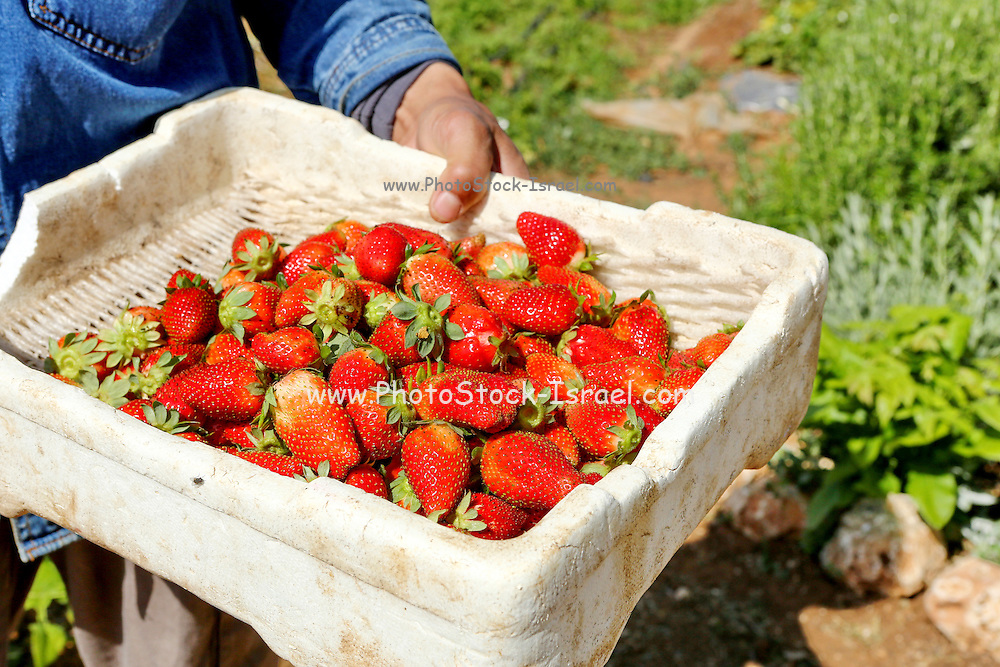 Organic farming. a small strawberry patch