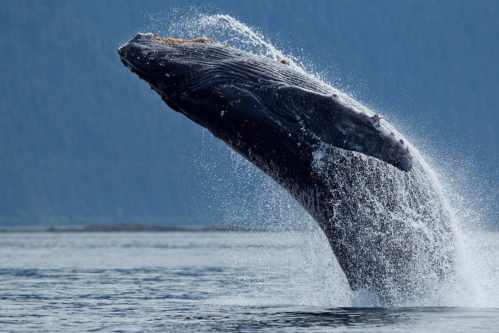 USA, Alaska, Tongass National Forest, Humpback Whale (Megaptera novaengliae) breaching along Chatham Strait near village of Angoon