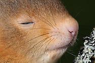 DEU, Deutschland: Europäisches Eichhörnchen (Sciurus vulgaris), Jungtier ca. 7 Wochen alt, bei seiner ersten Begegnung mit der Natur, Eichhörnchen sind Nesthocker und werden blind und nackt geboren, sie öffnen die Augen mit 30-32 Tagen, mit ca. 12 Wochen verlassen die Jungen das Nest, die Farbe des Felles, auch innerhalb eines Wurfes variiert und kann von fuchsrot bis schwarz sein, dieses Tier gehört zu einem Wurf, der aus dem Nest fiel, als der Baum gefällt wurde, und wird nun von  Mitgliedern des Eichhörnchen-Schutzprojektes, die über das gesamte Land verteilt sind, per Hand aufgezogen, um sie später in die Freiheit zu entlassen, München, Bayern | DEU, Germany: Eurasian Red Squirrel (Sciurus vulgaris), circa 7 weeks old young animal meeting the nature first time, squirrels are altricial animals, born blind and naked, open the eyes with 30-32 days, with 12 weeks they leaving the nest, the coat color, also within a litter, varied and can be rufous to black, the litter, which falling out of nest, when the tree cut down, breeding by hand now from members of the red squirrel protection project, Munich, Bavaria