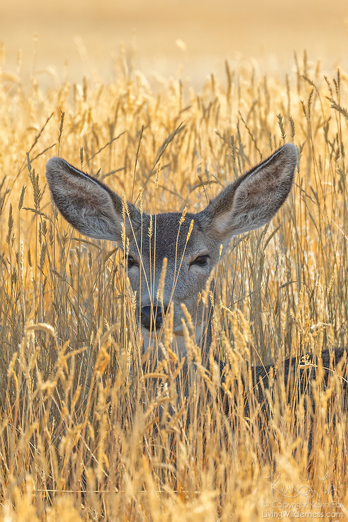 A mule deer (Odocoileus hemionus) rests in the grass in Rocky Mountain Arsenal National Wildlife Refuge in Colorado. Rocky Mountain Arsenal National Wildlife Refuge was established in 1992 on the site of a former U.S. Army chemical weapons manufacturing facility.