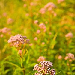 Joe-pye weed, Eutrochium purpureum, grows in a hay field in Bridgewater, Massachusetts.  Summer.