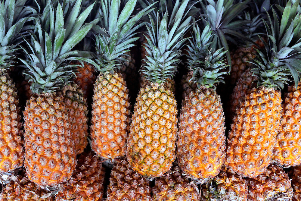 South America, Brazil, Manaus. Pineapples grown in the Amazon.