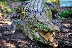 AUSTRALIA QUEENSLAND BILLABONG 23FEB08 - Australian crocodile shows its teeth at the Billabong Sanctuary...jre/Photo by Jiri Rezac..© Jiri Rezac 2008..Contact: +44 (0) 7050 110 417.Mobile:  +44 (0) 7801 337 683.Office:  +44 (0) 20 8968 9635..Email:   jiri@jirirezac.com..Web:    www.jirirezac.com..© All images Jiri Rezac 2008 - All rights reserved.