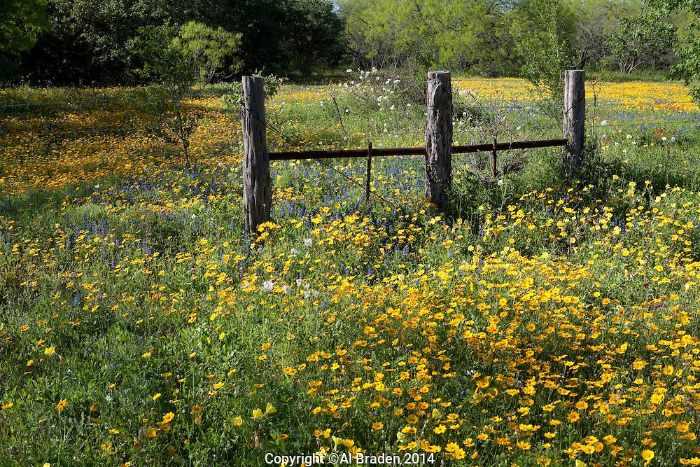 Coreopsis (Coreopsis nuecensis), DeWitt County, Texas