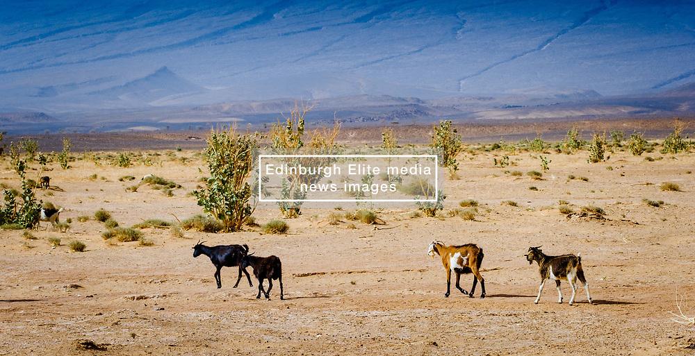 Goats wandering in the desert near Lake Iriki, Souss-Massa territory, Morocco<br /> <br /> (c) Andrew Wilson | Edinburgh Elite media