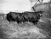"""25/08/1959<br /> 08/25/1959<br /> 25 August 1959<br /> Pedigree Bulls and Heifers for Coras Trachtala. """"Peg of Clarina"""" (left) and """"Flora of Clarina"""" - two Aberdeen Angus 1 1/2 year old heifers belonging to Mr. Alex Gabbett, Newtown, Clarina, Limerick."""