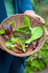 Basket of freshly harvested salad leaves.