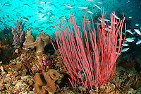 Whip corals surrounded by fusiliers, Raja Ampat Islands, West Papua, Indonesia. The Raja Ampat Islands in West Papua are famous for their extraordinary marine biodiversity. The reefs around these islands are thought to be some of the most biodiverse on the planet.