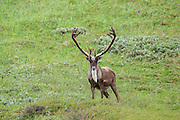 Barren Ground Caribou bull in arctic habitat in the Yukon.