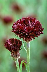 Centaurea cyanus 'Black Ball' - Cornflower