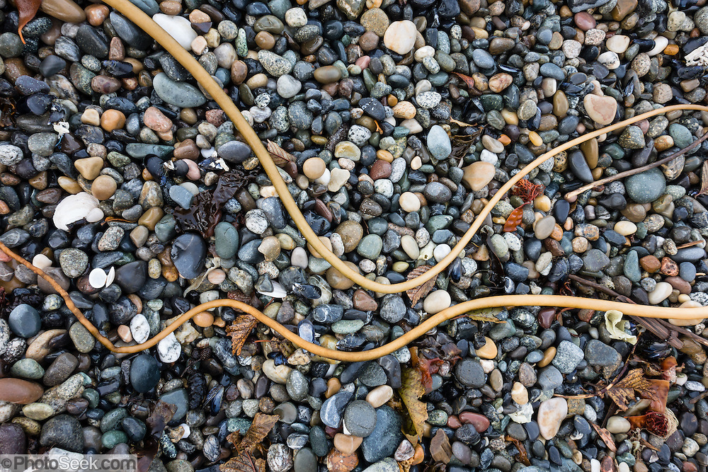Kelp on polished pebbles. Lummi Island, in the Salish Sea, Whatcom County, Washington, USA.