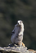 USA, Alaska, Marmot, Denali National Park