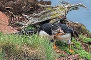Pair of Atlantic Puffin -  Fratercula arctica having a fight