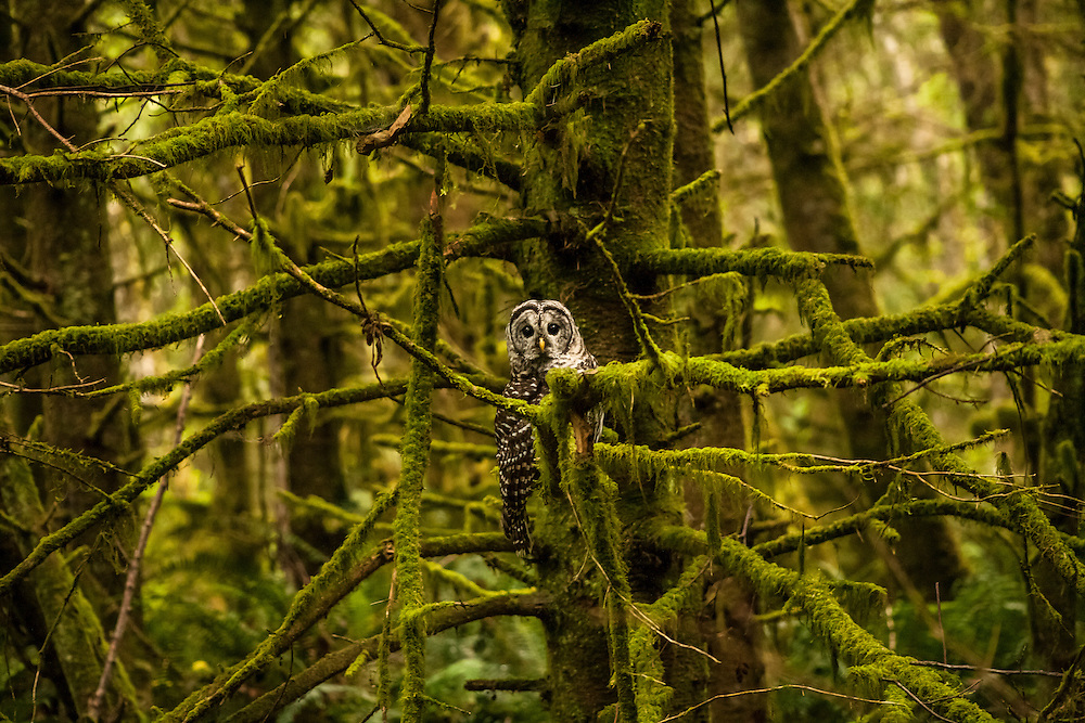 Among the Mossy Trees - Barred Owl - Ecola State Park, Oregon Edition of 100 EXP0339