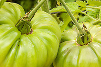 Green Black Russian tomatos are allowed to ripen on the vine in an organic garden.