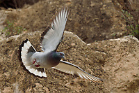 Hill Pigeon or Eastern Rock Dove or Turkestan Hill Dove (Columba rupestris) breeding at the Taoist Tian Feng Ling Temple, Beiyue Hengshan Mountain, Datong, Hunyuan County, Shanxi Province, China