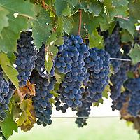 Cabernet Sauvignon grapes on the vine.