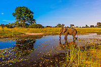 Elephant drinking water in a stream, near Kwara Camp, Okavango Delta, Botswana.