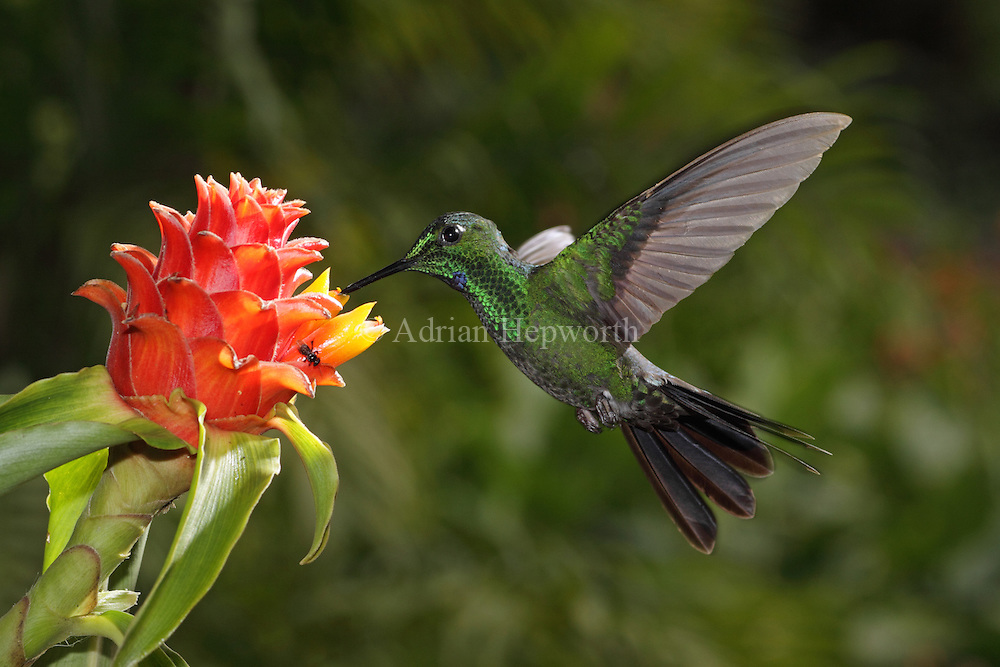 Green-crowned Brilliant(Heliodoxa jacula) at ginger flower (Costus montanus). Montane rainforest near Poas Volcano, Costa Rica. <br />