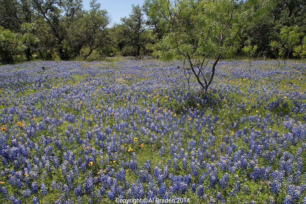 Bluebonnet (Lupinus texensis), Llano County, Texas