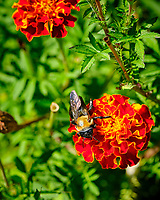 Bumblebee on a Marigold Flower. Image taken with a Fuji X-H1 camera and 80 mm f/2.8 macro lens + 1.4x teleconverter
