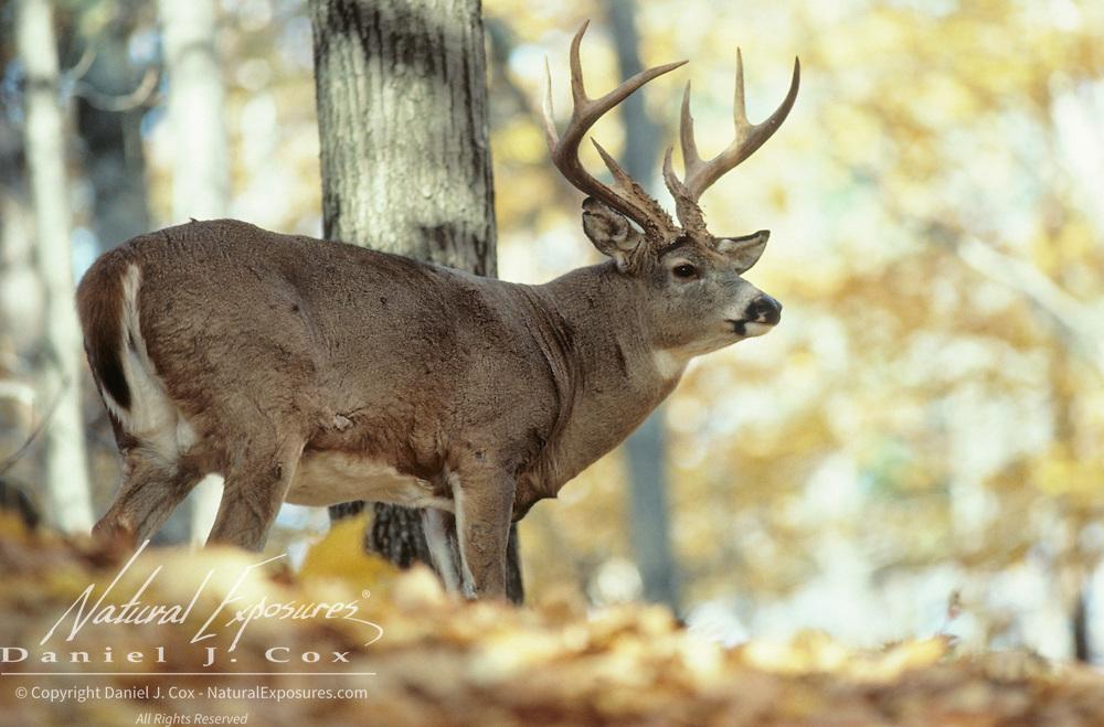 Whitetail Deer (Odocoileus virginianus) buck in timber during fall rut season.
