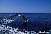 bottlenose dolphin, Tursiops truncatus (c-r)<br /> jump sequence (#3 of 3)<br /> Roatan, Honduras ( Caribbean Sea )