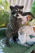 Raccoon <br /> Procyon lotor<br /> Seven-week-old orphaned baby getting a bath from volunteer in backyard of foster home<br /> WildCare, San Rafael, CA