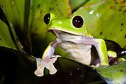 Gliding Treefrog (Agalychnis spurrelli) CAPTIVE<br /> Choc&oacute; Region of NW ECUADOR. South America