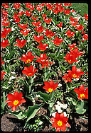 Bright red tulips fill flower bed in April at the Missouri Botanical Garden in St. Louis, Missouri
